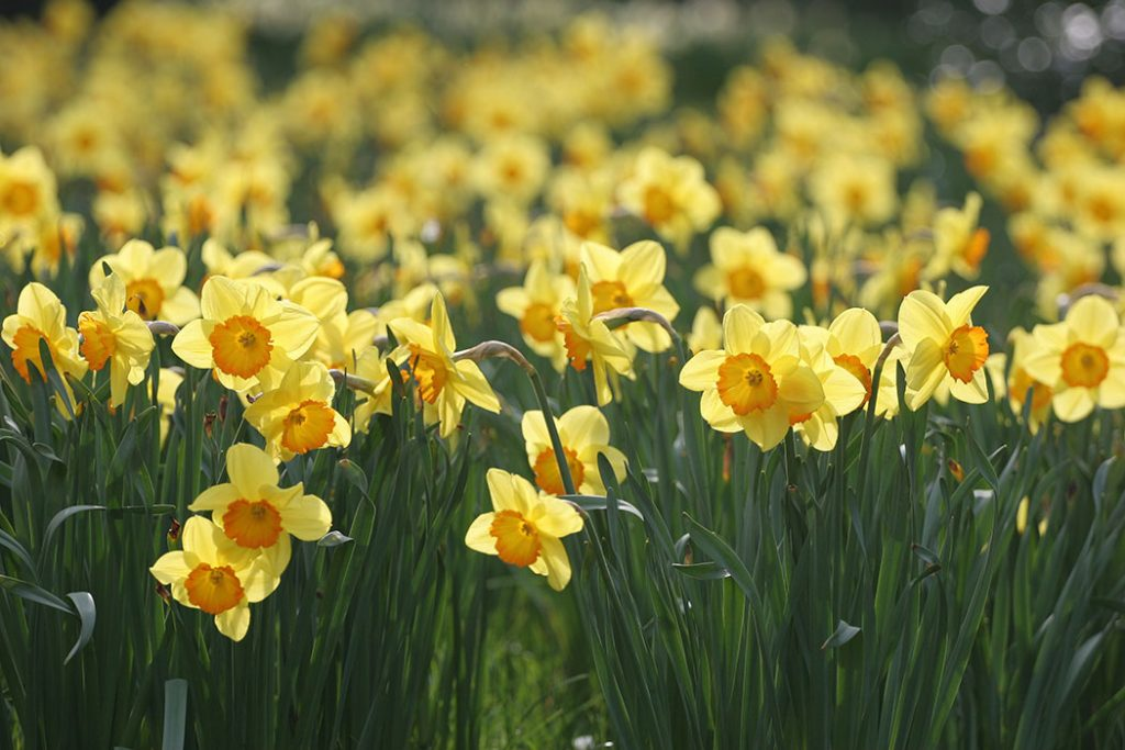 the daffodil story